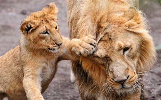 Wallpaper Lion cub, playful, family