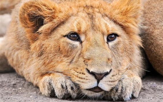 Papéis de Parede Face de leão vista frontal, olhos, nariz