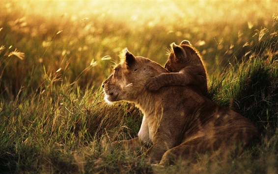 Wallpaper Lion family, affection, cub, grass, sunshine