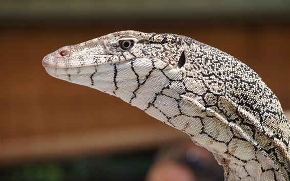 Wallpaper Lizard, animal close-up, head, eye
