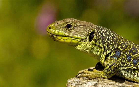 Wallpaper Lizard, stone, green background