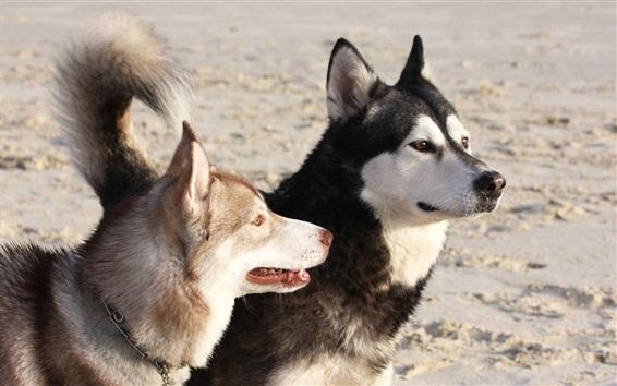 Обои Маламутские собаки
