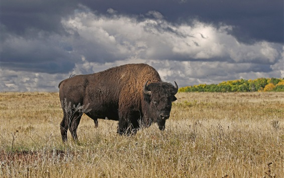 Papéis de Parede Manitoba, Canadá, búfalos, chifres, capim, outono