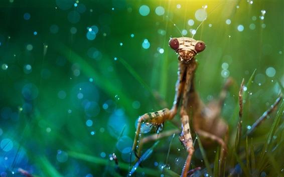 Papéis de Parede Mantis na grama, orvalho