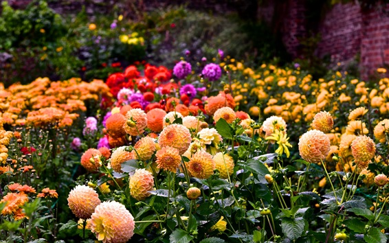 Wallpaper Many dahlia flowering, colorful, summer