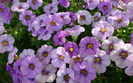 Papéis de Parede Muitas flores de petúnias roxas claras
