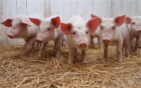 Wallpaper Many little pigs