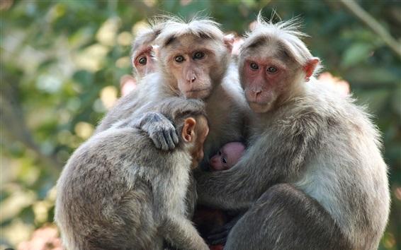 Papéis de Parede Macaco, família
