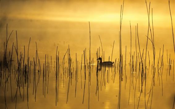 壁紙 朝、湖、草、アヒル、霧