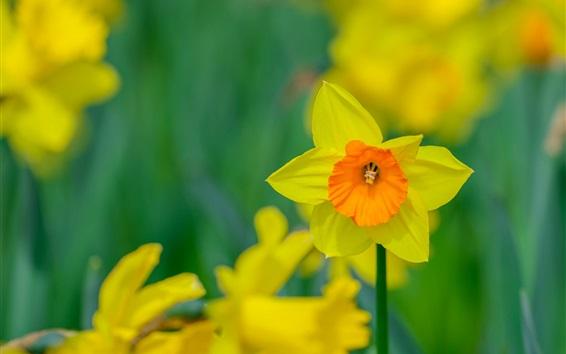 Wallpaper Narcissus flower macro photography, petals, bokeh