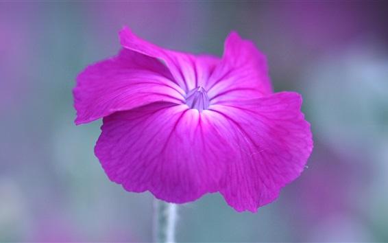 Papéis de Parede Uma flor de petúnia rosa
