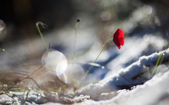 Papéis de Parede Uma flor vermelha de papoula, neve, inverno