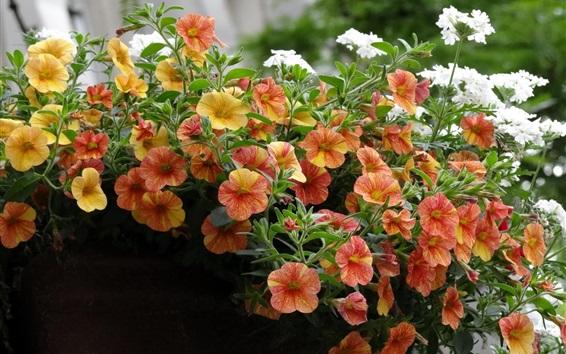 배경 화면 오렌지 petunias 꽃