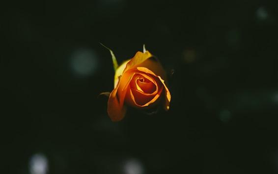 Fond d'écran Rose orange, fond noir