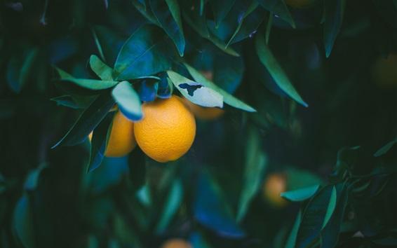 Wallpaper Oranges, twigs, leaves