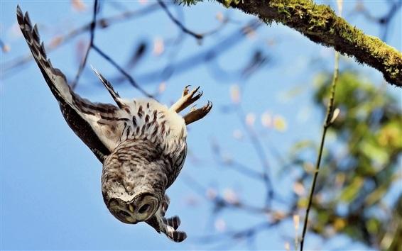 Wallpaper Owl flight down from tree