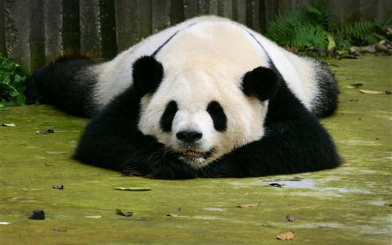 Обои Панда спать на земле