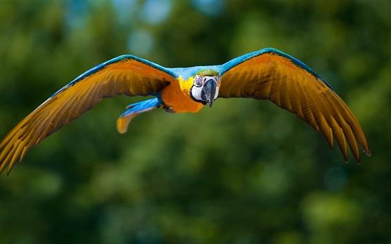 Papéis de Parede Papagaio voando, bokeh