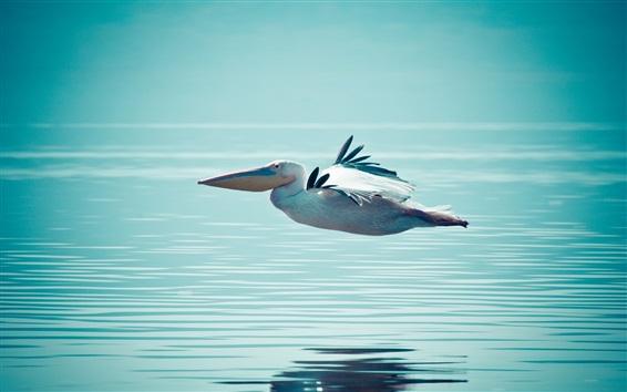 Fond d'écran Pélican volant à la surface de l'eau