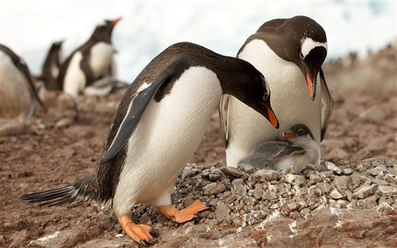 Wallpaper Penguin family