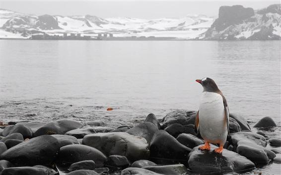 Wallpaper Penguin, rocks, sea