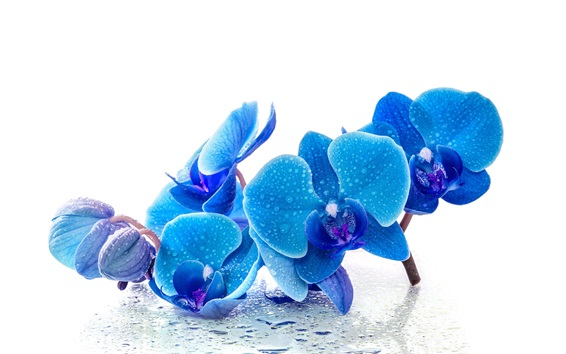 Обои Фаленопсис, синие цветы, капли воды, на белом фоне