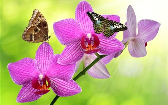 Papéis de Parede Phalaenopsis flores cor de rosa, borboleta