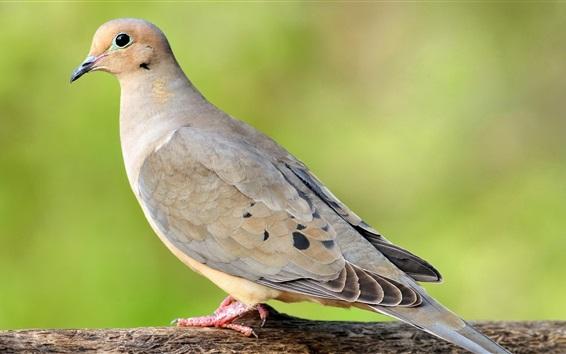 Papéis de Parede Pigeon close-up, fundo verde