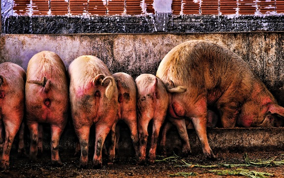 Fond d'écran Famille de cochons, manger de la nourriture, la saleté