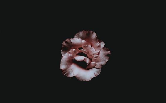Papéis de Parede Flor rosa, pétalas, fundo escuro
