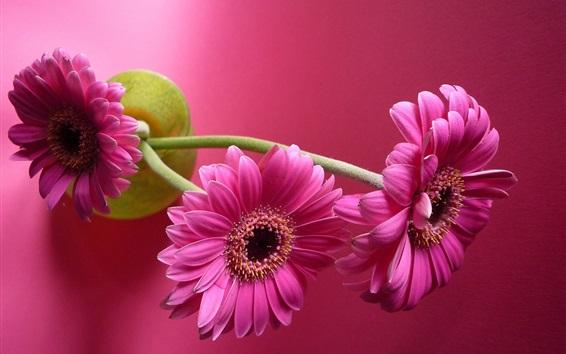 Wallpaper Pink gerbera flowers, vase, pink background
