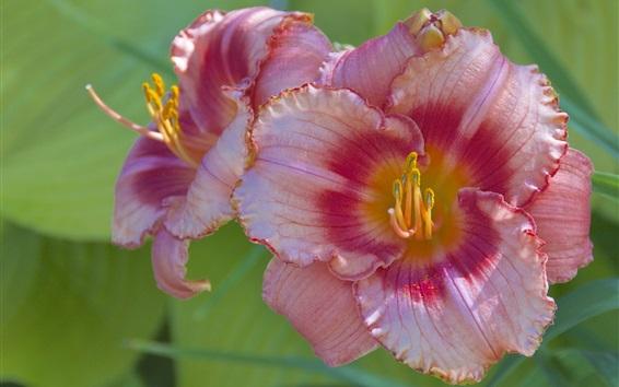 Papéis de Parede Pink Lily, fotografia macro de pétalas