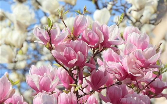 Papéis de Parede Flores de magnólia rosa florescem, lindas