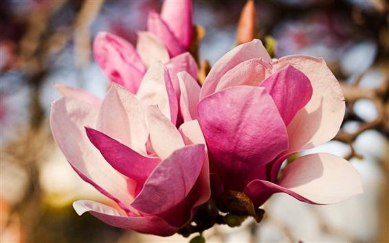 Fondos de pantalla Primer plano de flores de magnolia rosa