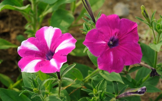 Wallpaper Pink petunias flowers, greenery