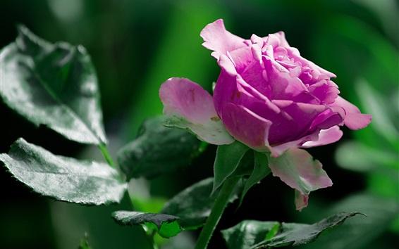 Papéis de Parede Rosa rosa close-up, folhas verdes, verão