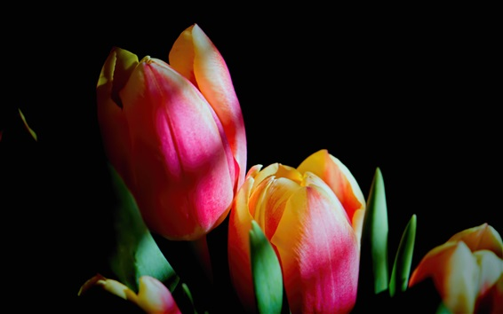 Wallpaper Pink tulips flowers, black background