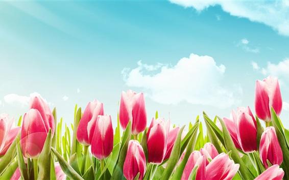 Papéis de Parede Tulipas cor-de-rosa, flores, céu azul, nuvens