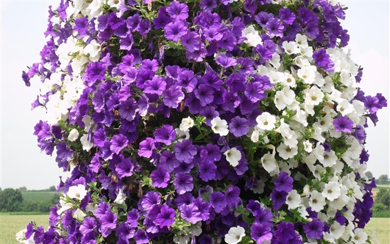 Wallpaper Purple and white petunias flowers