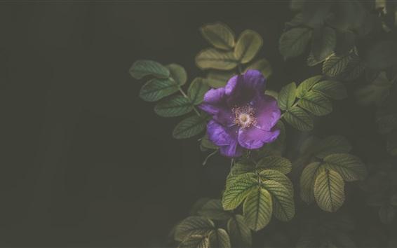 Papéis de Parede Flor roxa close-up, pistilo, folhas