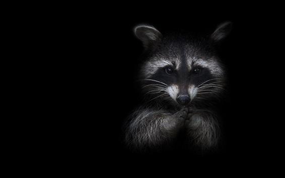 Papéis de Parede Raccoon, fundo preto