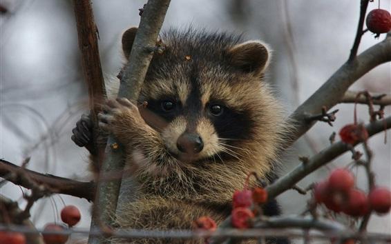 Wallpaper Raccoon on tree, red berries