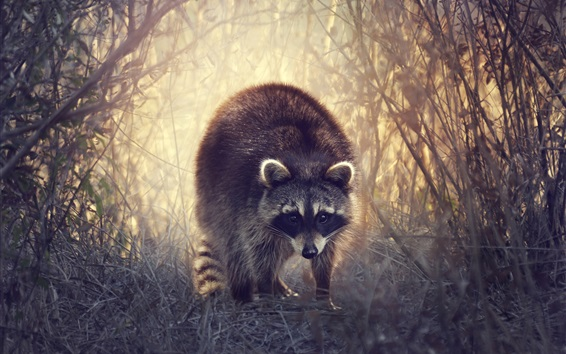 Papéis de Parede Raccoon anda na grama, arbustos