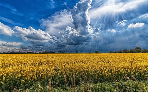 Wallpaper Rapeseed flowers field, clouds, sun rays