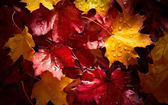 Papéis de Parede Folhas de bordo vermelhas e amarelas flutuam na água