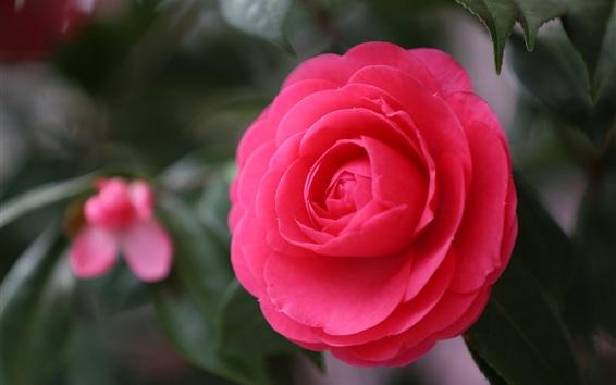 배경 화면 붉은 동백 꽃 매크로 촬영
