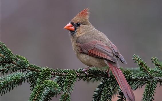 Обои Красная кардинальная птица, сосна