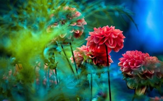 Wallpaper Red dahlias, flowers, blurry background