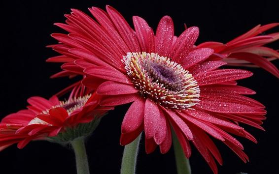 Wallpaper Red gerbera flowers, water drops