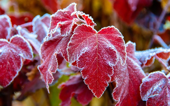 Wallpaper Red leaves, frost, cold